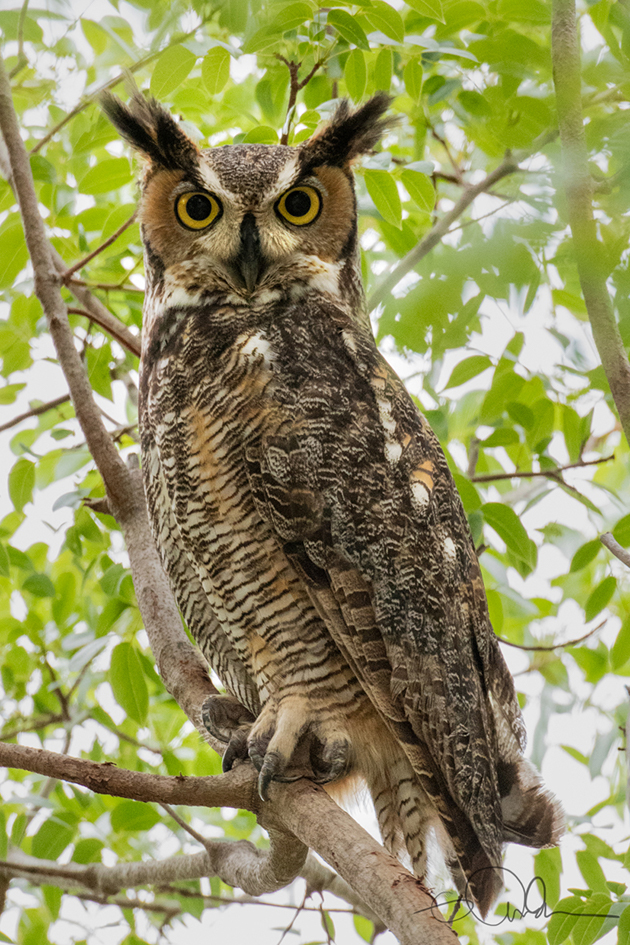 Great Horned Owl, Cape Coral, FL