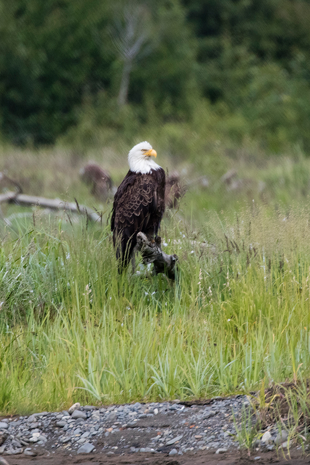 Bald Eagle sitting in a field