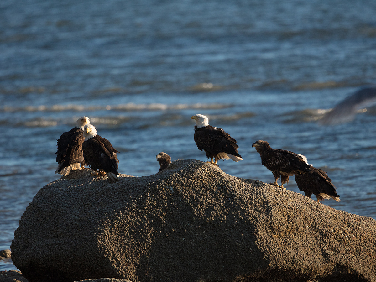 Bald Eagles on a rock at the beach